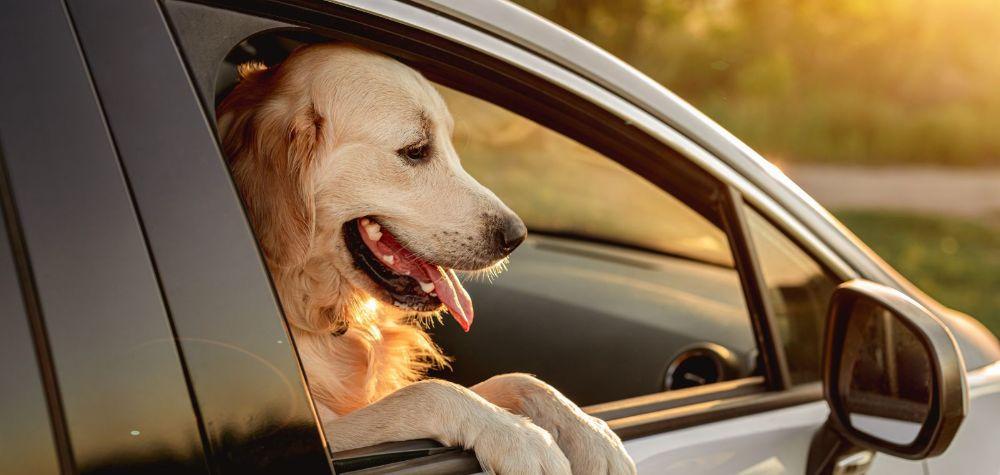 Foto Cachorro Viagem Protetor de Carro Nápoli Ridelf