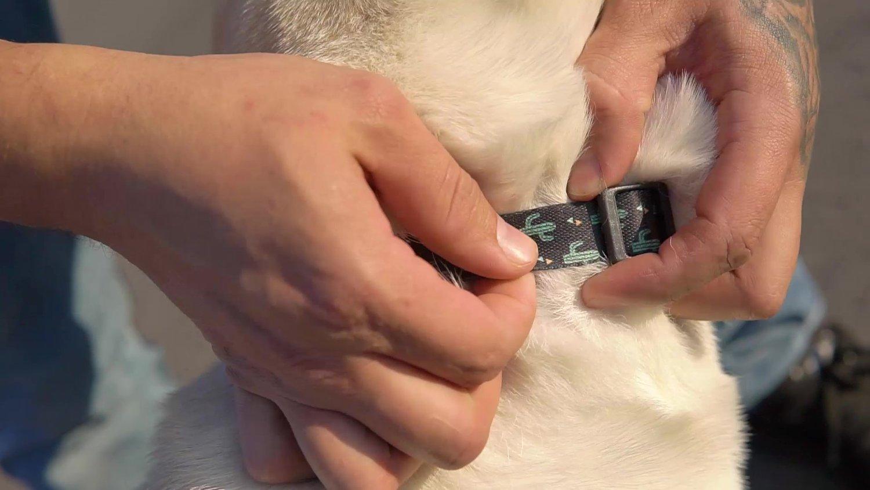 Coleira para Cachorro e Gato Modelo Poly Cactos