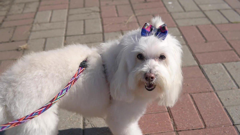Peiteira com Guia para Cachorros e Gatos Modelo Poly Color Lines