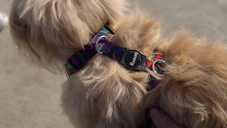 Peiteira com Guia para Cachorros e Gatos Modelo Poly Rock N Roll