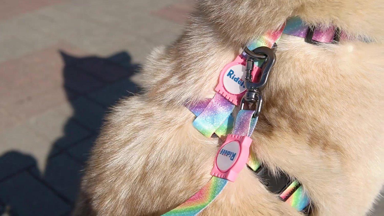 Peiteira com Guia para Cachorros e Gatos Modelo Poly Tie Dye Star